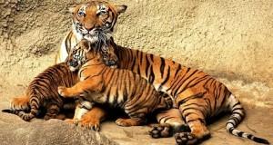 Tiger-sondurbhan