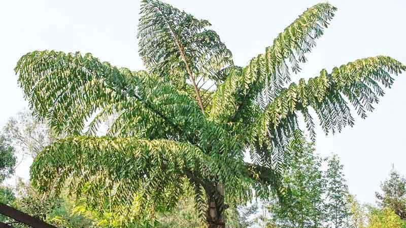Monocarpic plant